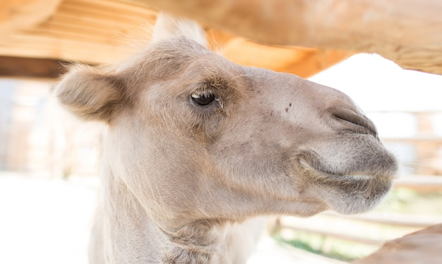 Tête de chameau arabe gros plan