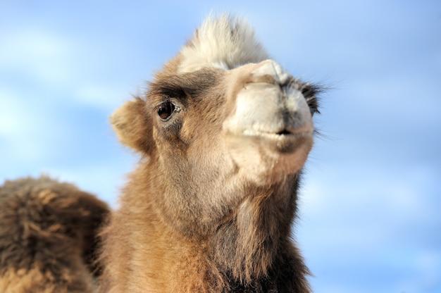 Tête de chameau sur fond de ciel bleu