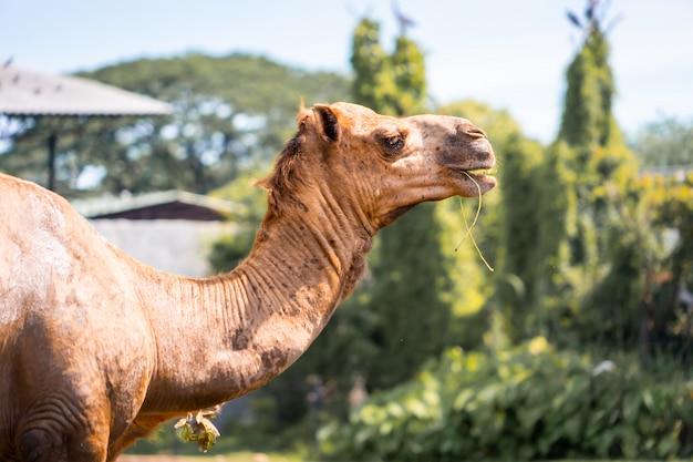Tête de chameau mange de l'herbe dans un parc national
