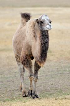 Tête d'un chameau sur la nature