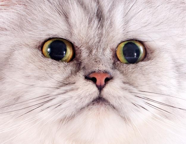 Tête de chat persan