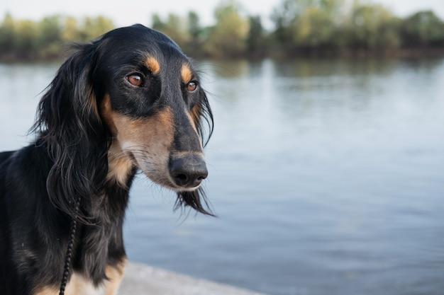 Tête de chien saluki. noir et beige. près de la rivière. vue de côté. yeux marrons. lévrier persan dévoué close up portrait photo de haute qualité