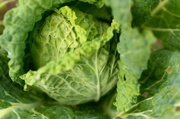 La tête de chou blanc frais et honnête pousse dans le jardin. gouttes d'eau sur les feuilles