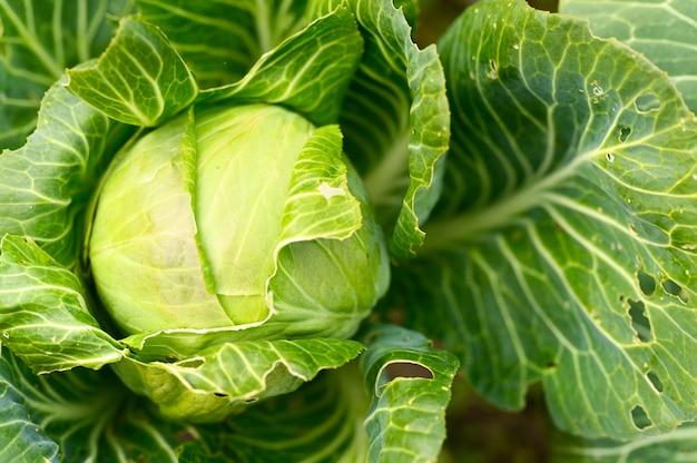 Tête de chou blanc honnête frais mûr pousse dans le jardin