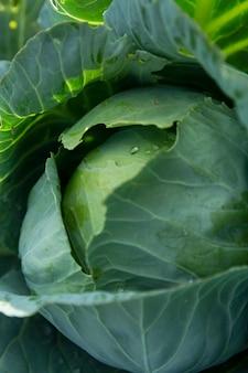 Tête de chou fraîche dans le jardin. nouvelle récolte. vitamines et alimentation saine. verticale.