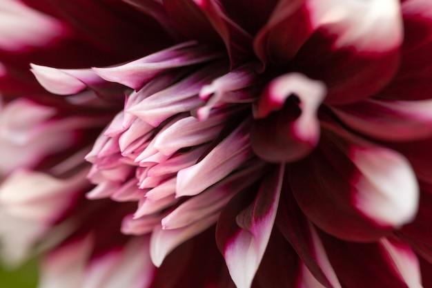 Tête de closeup dahlia violet et blanc.