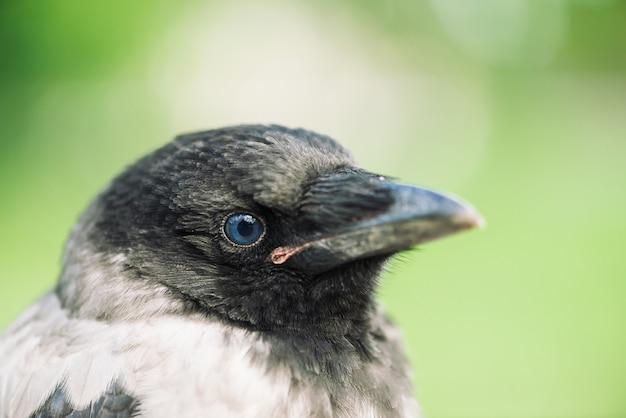 Tête de corbeau jeune sur fond vert