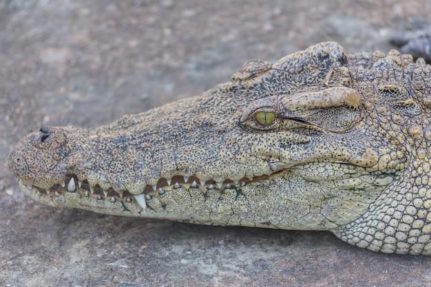 Tête de crocodile, alligator
