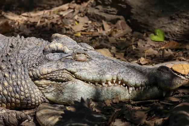 Tête de crocodile irrésistible en thaïlande