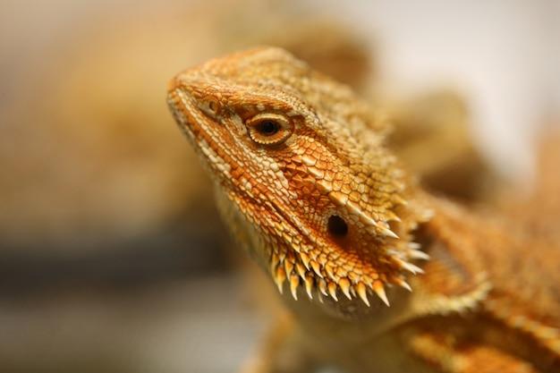 Tête de dragon barbu