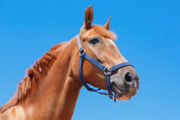 Tête du cheval alezan sur le ciel bleu