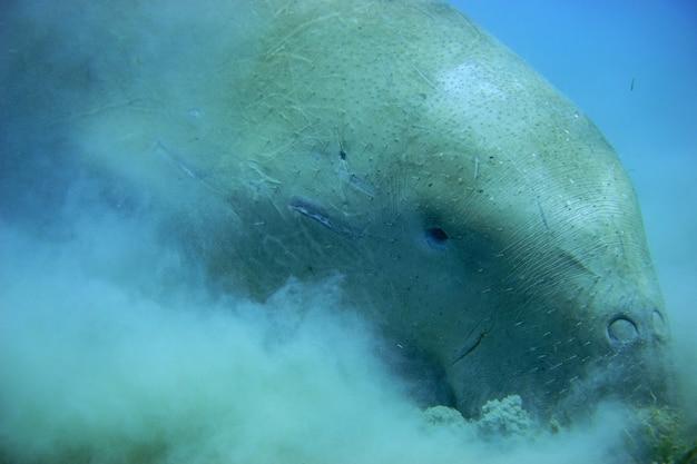 Tête de dugong bouchent manger de l'herbe sur le fond marin