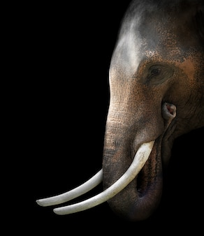 Tête d'éléphant d'asie sur fond noir