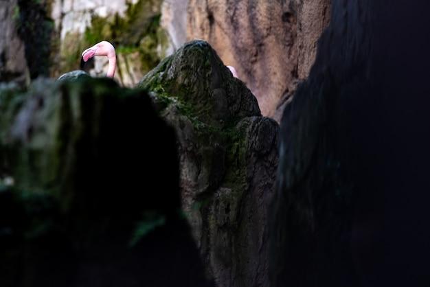 Tête de flamant rose, phoenicopterus roseus, regardant derrière un rocher.