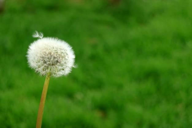 Tête de fleur de pissenlit sur pré vert flou avec copie espace
