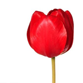 Tête de fleur de tulipe rouge isolé sur fond blanc.