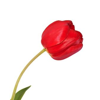 Tête de fleur de tulipe rouge isolée sur la conception de printemps de fond blanc.