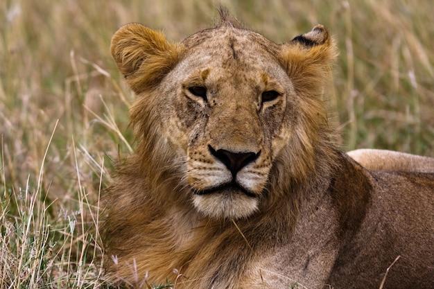 Tête d'un futur roi. kenya, afrique