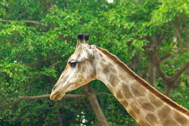 Tête de girafe au zoo en marche