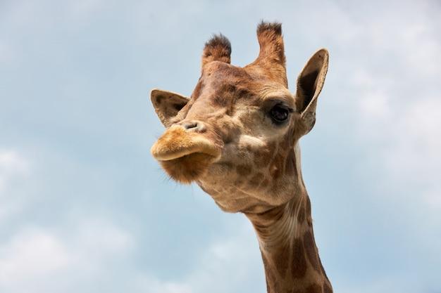 Tête de girafe contre un ciel nuageux bleu