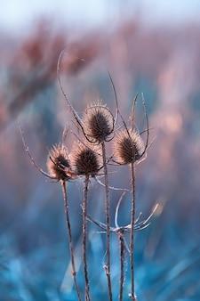 Tête de graine de graines sèches dans les rayons du soleil couchant. gros plan, sauvage, teasel, fleur