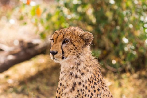 La tête d'un grand guépard masai mara kenya
