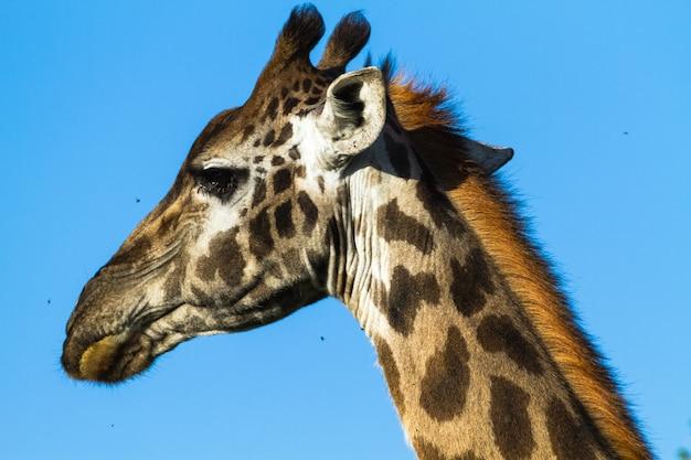 Tête de grande girafe. serengeti, tanzanie