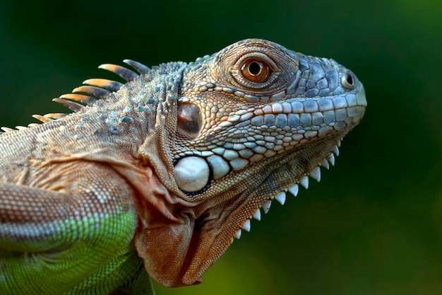 Tête gros plan d'iguane vert