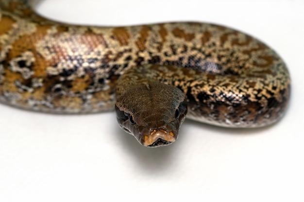 Tête de gros plan serpent python brongersmai