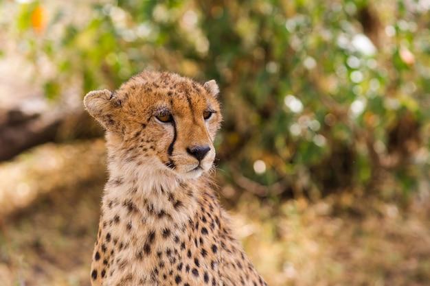 La tête d'un guépard masai mara kenya