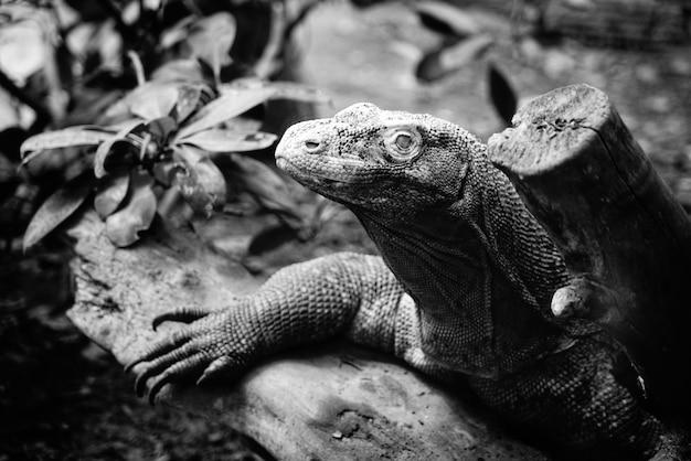 Tête d'iguane en noir et blanc