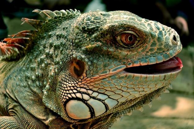 Tête d'iguane vert, photo en gros plan