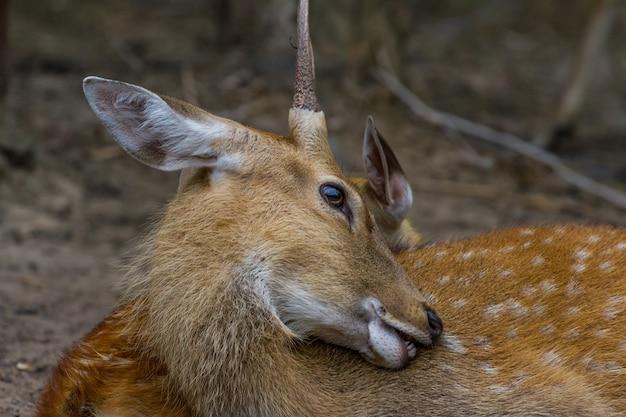 Tête de jeune cerf de virginie mâle et femelle assis ensemble dans le parc public