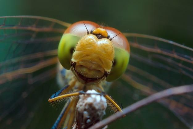 Tête de libellule se bouchent. macro