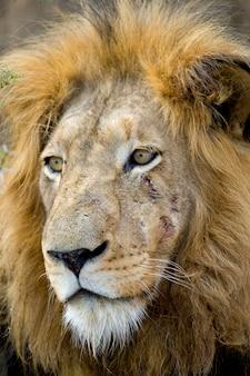 Tête de lion - panthera leo à l'état sauvage