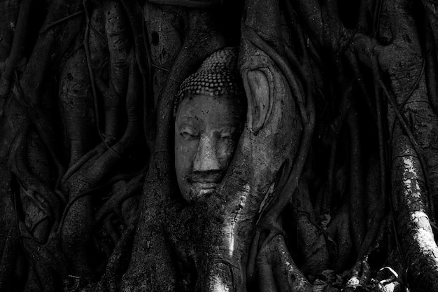 Tête magique de bouddha en grès dans un tronc ou un arbre à racines au