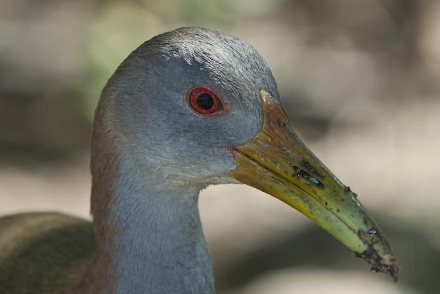 Tête d'un mignon oiseau gallinule européen