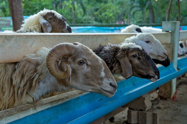 Tête de mouton à la ferme