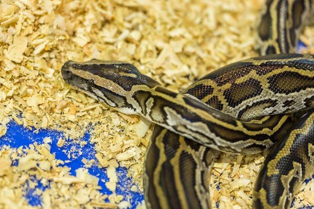 Tête et oeil python