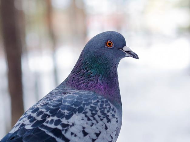 Tête d'oiseau pigeon gros plan, oeil orange ouvert, belles plumes, fond clair