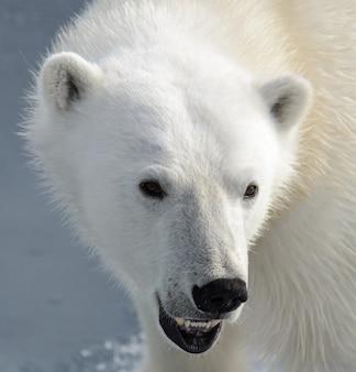 La tête de l'ours polaire (ursus maritimus) se bouchent