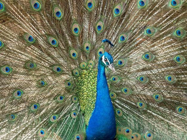 Tête de paon colorée répandre plume, se bouchent.