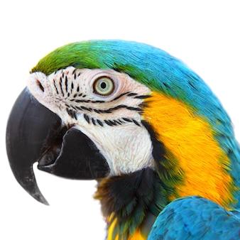 Tête de parrot macaw close-up isolé sur fond blanc