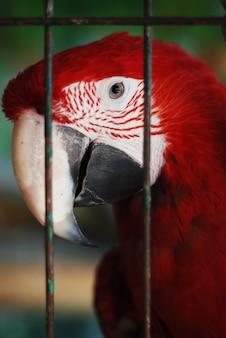Tête de perroquet rouge colorée au zoo au-dessus des barres.