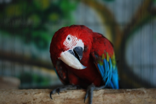 Tête de perroquet rouge colorée au zoo.