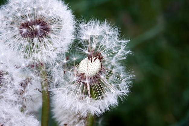 Tête d'un pissenlit blanc sur un arrière-plan flou avec des graines partiellement soufflées
