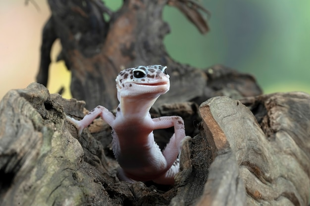 Tête de plan rapproché de gecko de léopard sur le gecko de léopard de bois à la recherche d'une proie