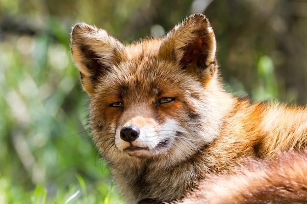 Tête de renard