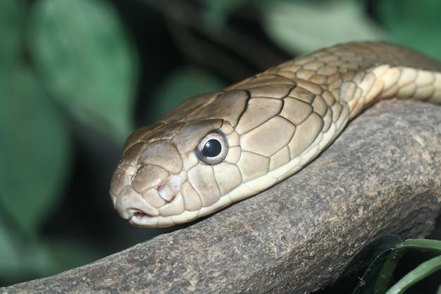 Tête roi cobra
