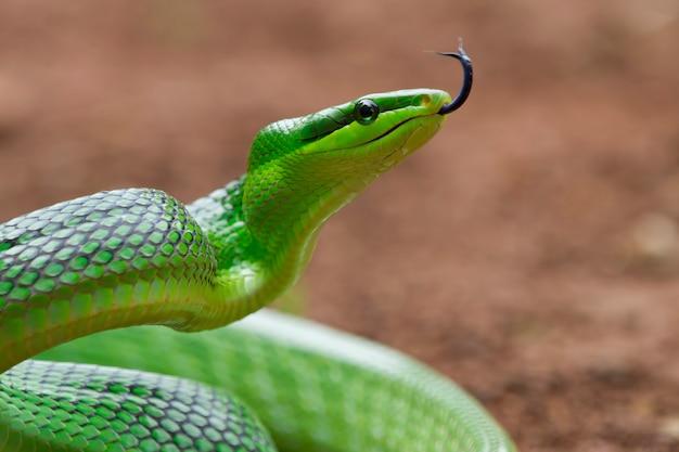 Tête de serpent gonyosoma